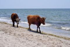 Коровы и море