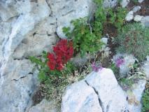 Одинокий горный цветочек